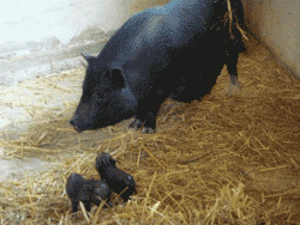 Aqualeon celebrates the birth of two small Vietnamese pigs